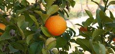 Cómo hacer que un naranjo crezca desde una semilla. | eHow en Español