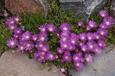 A fast spreading groundcover from South Africa that blooms for most of the growing season.  The lustrous fuchsia-colored flowers are an improvement on Delosperma cooperi.  During the winter the leaves remain turgid and green often tinged with purple.  Perennial. Clay loam or sandy soils. USDA zones 4-9 up to 7000'.