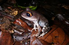 Spotted Marsh Frog - The Australian Museum