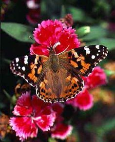 Painted Lady Butterfly (Vanessa Cardui) | Rare Butterflies. 13 Most Beautiful and Rare Butterflies | Scienceray