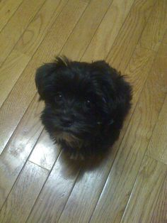 My morkie, Bentley at 4 months old :)