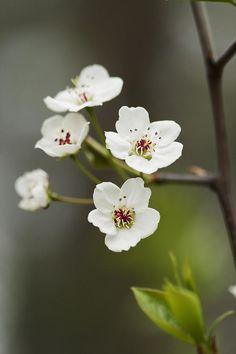 Bradford Callery Pear Tree Blossoms - Pyrus Calleryana --  by Kathy Clark