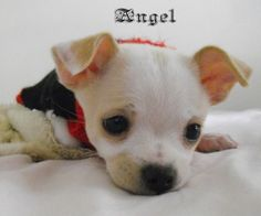 My Chi:  Angel, age 3 months
