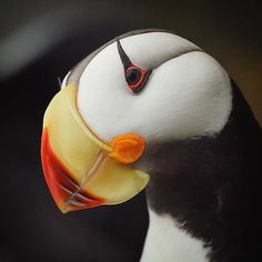 "17.6k Likes, 114 Comments - Wildlife Planet (@wildlifeplanet) on Instagram: ""Horned Puffin 