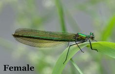 The Banded Demoiselle (Calopteryx splendens) is a species of damselfly belonging to the family Calopterygidae. It is often found along slow-flowing streams and rivers. It is a Eurasian species occurring from the Atlantic coast eastwards to Lake Baikal and northwestern China. gif by @MathewHayes  Wikipedia: https://en.wikipedia.org/wiki/Banded_Demoiselle
