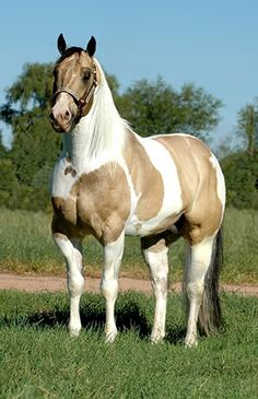 I'ma Flamin' Jack - dun palomino white