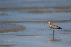 The shore(Bar-tailed Godwit) by himeuran via http://ift.tt/2d9oA1U