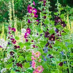 Biennial hollyhocks, an old-fashioned favorite, bloom mid- to late summer. To grow them when and where you want, snip and save the seed pods, then plant in fall or early spring. | via This Old House