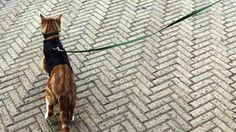 Donos levam gatos para passear – e de coleira