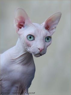 Sphynx Cats are known by many other names - the Canadian Sphynx, Sphinx, Moon Cat and Moonstone Cat. This hairless kitty was discovered in Canada around ...