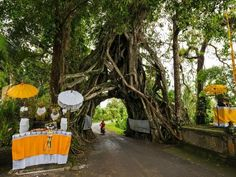 Bunut Bolong, higuera. Asahduren Village, Bali