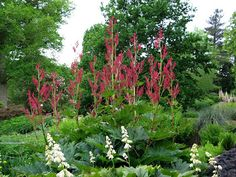 Temperate Climate Permaculture: Permaculture Plants: Rhubarb