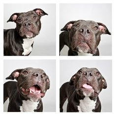 Star Two-year-old Staffordshire Bull Terrier mix. Candid Canines: Utah Shelter Dogs In Pics Shelter Dogs, Rescue Dogs, Animal Shelter, Dog Poses, Utah, Rottweiler Puppies, Staffordshire Bull Terrier, Dog Photography, Dog Accessories
