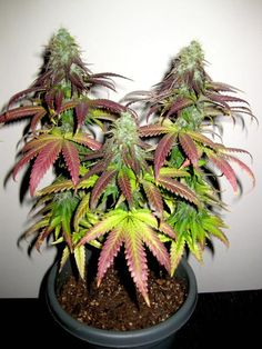 how to grow indoor marijuana http://www.growingmarijuanaebook.com