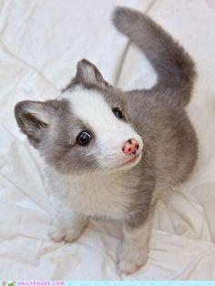 Tiny arctic foxes. Go ahead. Squee. Ok... squeeeeeee!