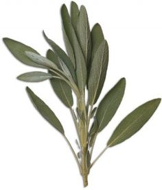 The Healing Power of Sage!