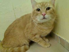 My name is TIGER. My Animal ID # is A1046248, I am on the be destroyed list. I am a male orange domestic sh mix. The shelter thinks I am about 3 YEARS old. I came in the shelter as a OWNER SUR on 08/01/2015 from NY 11209, owner surrender reason stated was MOVE2PRIVA. I came in with Group #K15-025353. NYC Manhattan Center.