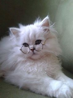 "Just a fluffy white ""Harry Potter"" kitty..So cute!"