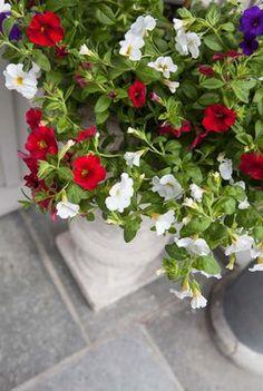 Velg en frodig ampel i rødt, hvitt og blått. Petunias, Plants, Tips, Plant, Planets, Counseling