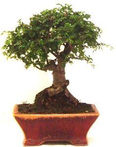 ficus ginseng : conseils d\'entretien | Bonsái | Pinterest | Ficus ...