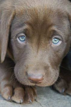 Weimaraner puppy, what an increadible cute little doggie! #CutePuppy  Want to know more on how to train your puppy? Check out: www.petpremium.co...   @PetPremium Pet Insurance