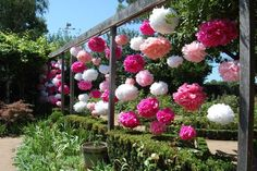 Tissue Pom Poms! A perfect, inexpensive way to add color to the backyard/patio area during a party :)