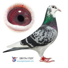 Racing Pigeons For Sale, Pigeon Eyes, Pigeon Pictures, Homing Pigeons, Modern House Design, Pet Birds, Pets, Ajin, Doggies