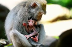 AFP Photo 📷 – Balinese long-tailed monkeys, Macaca fascicularis, are pictured in the Sacred Monkey Forest in Ubud, Bali, Indonesia. Monkey Forest, Manicure Tips, France Photos, Balinese, Mothers Love, Mommy And Me, All Pictures, Conservation, Discovery
