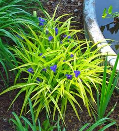 Spiderwort | Sun to part shade (H) 1.5' (W) 1.5' ▪  Bloom: May-July ▪ Zone 4-9