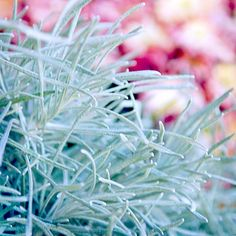 Curry Plant Though it's not the plant from which curry flavoring is made, give the leaves a sniff and you'd certainly think so. Whether you grow it for its scent or not, the lovely silvery foliage acts as a great filler in containers or beds and borders. Name: Helichrysum italicum subsp. serotinum Growing Conditions: Full sun and well-drained soil Plant Size: To 16 inches tall and 30 inches wide Zones: 8-10; grown as an annual in colder-winter areasCurry Plant