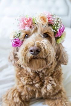 Goldendoodle with flower crown Animals And Pets, Baby Animals, Cute Animals, Cute Puppies, Cute Dogs, Labradoodles, Goldendoodles, Cockapoo, Dog Wedding