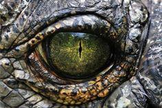 Ojo de cocodrilo. La versatilidad de los colores es lo que más llama la…