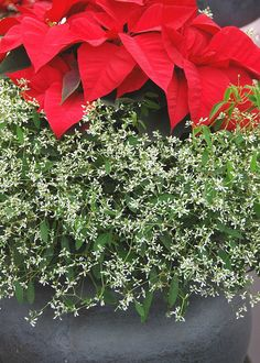 Unusual plant combinations make great holiday decor. The hundreds of tiny, white flowers of Diamond Frost provide the perfect contrast to a favorite poinsettia color grouped together in one container. Winter Planter, Hanging Flower Baskets, Unusual Plants, Poinsettia, Container Gardening, White Flowers, Planters, Holiday Decor, Creative