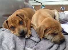 Buddy & Mister, 9 weeks old - Sharpei Pit Bull mix. Super cute!