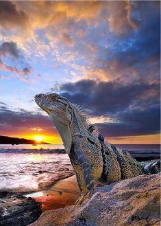 Iguana's sunset
