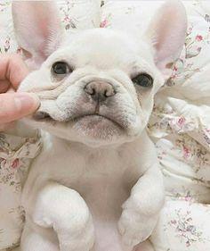 Beautiful Mira, French Bulldog Puppy ❤ @mira_bonita_ Order an oil painting of your pet now at www.petsinportrait.com