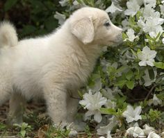 Angel the Great Pyrenees, she loves the smell of flowers!