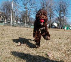 Flying catch! Vasco, my Portuguese Water Dog