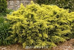 Monrovia's Sea Of Gold® Juniper details and information. Learn more about Monrovia plants and best practices for best possible plant performance.
