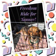Beagle dog for Adoption in Roxboro, NC. ADN-534365 on PuppyFinder.com Gender: Male. Age: Adult