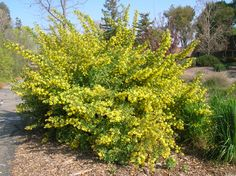 Ribes aureum. Golden Currant. Native deciduous shrub. Delicious edible berries. Good bird plant. Butterfly larval source. Part shade. Fast grower.