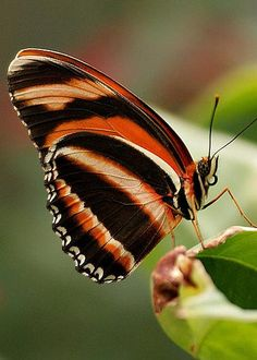 Tiger Striped Butterfly by Sandy Keeton nature Papillon Butterfly, Butterfly Kisses, Butterfly Wings, Flying Flowers, Butterflies Flying, Butterfly Effect, Butterfly Flowers, Beautiful Bugs, Beautiful Butterflies