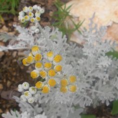 Although it is primarily used as a foliage plant, Silver Dust Dusty Miller has cute little yellow flowers.
