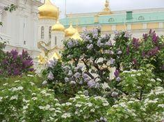lilacs of the kremlin
