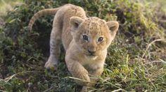 Download Free Baby Giraffes Animals Lions Cub Wallpaper