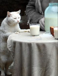 Drink more milk / white cat standing on hind legs / drink milk photo / drink milk photography / funny cats / thirsty cats / milk is bad for cats / Bellagio / Italy