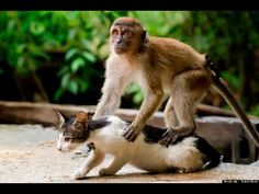 A cat enjoys a comforting back massage from a young crab-eating macaque. The display of friendship was caught on camera by Hendy Mp, at his friend& home in Indonesia. Picture: Hendy Mp/Solent News Animal Attack, Cat Attack, Primates, Funny Animal Videos, Funny Animals, Funny Videos, Smiling Animals, Cute Cats, Funny Cats