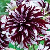 Super Size Dahlia X-Factor