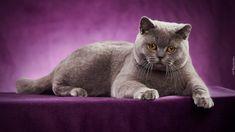 Leżący, Kot brytyjski krótkowłosy, Fioletowe tło