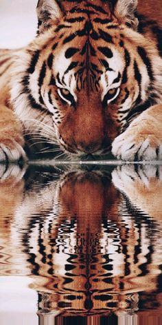 Reflection – Tiger – Big Cats – Vision – # Big # … - Gave Ideer Most Beautiful Animals, Majestic Animals, Beautiful Cats, Beautiful Creatures, Tier Wallpaper, Animal Wallpaper, Tiger Pictures, Animal Pictures, Wildlife Photography
